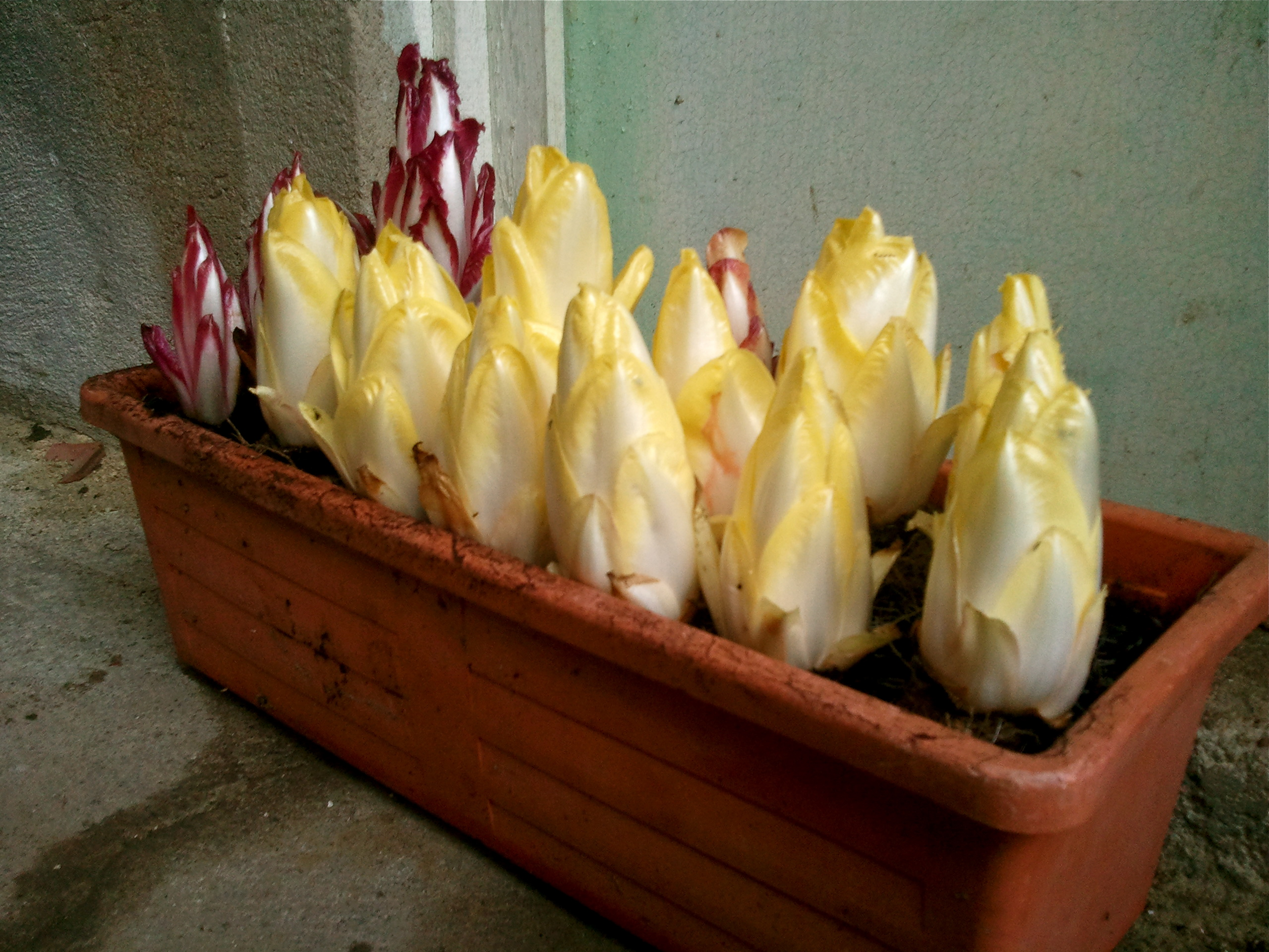 Produce superstars does belgian endive really come from belgium the macrochef - Growing french walnuts for a profit ...